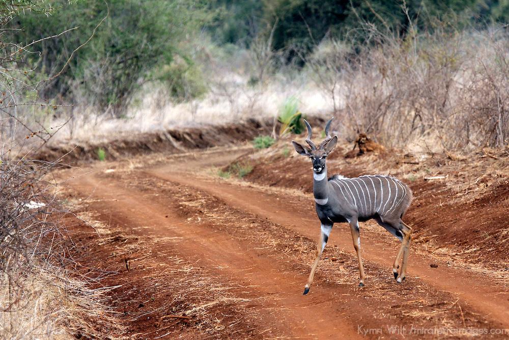 Africa, Kenya, Meru. Lesser Kudu of Meru National Park.
