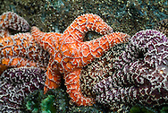 Starfish are marine invertebrates. They typically have a central disc and five arms, though some species have a larger number of arms. The aboral or upper surface may be smooth, granular or spiny, and is covered with overlapping plates. Many species are brightly coloured in various shades of red or orange, while others are blue, grey or brown.