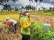 20 JULY 2016 - TAMPAKSIRING, GIANYAR, BALI:  A woman gets a drink of water while harvesting rice in Tampaksiring, Bali. Rice is an important part of the Balinese culture. The rituals of the cycle of planting, maintaining, irrigating, and harvesting rice enrich the cultural life of Bali beyond a single staple can ever hope to do. Despite the importance of rice, Bali does not produce enough rice for its own needs and imports rice from nearby countries. Because of its dependable growing weather and number of micro-climates, rice cultivation is a year round activity in Bali. Some farmers can be harvesting rice, while farmers just a few kilometers away can be planting rice. Most rice in Bali is still harvested by hand.     PHOTO BY JACK KURTZ