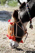 Donkey from Brooke Hospital for Animals charity grazes in village of Pattika, Pakistan