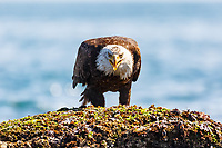 A great big bird eating a much smaller bird for dinner on the shore of the Salish Sea near Victoria, BC<br /> <br /> ©2019, Sean Phillips<br /> http://www.RiverwoodPhotography.com