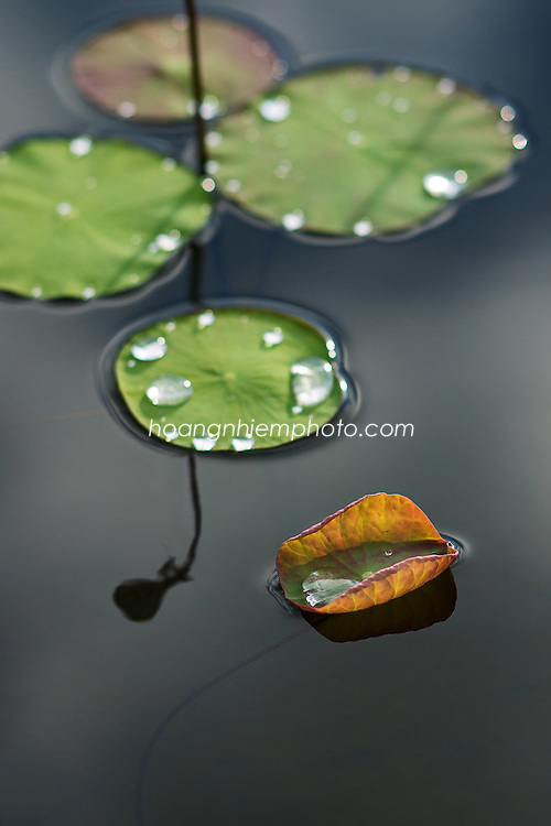 Vietnam Images-Lotus-Hoa sen-Reflection -Hoàng thế Nhiệm