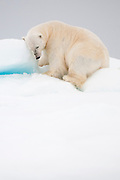 Polar bear (Ursus maritimus) resting on the sea ice. Svalbard 2012.