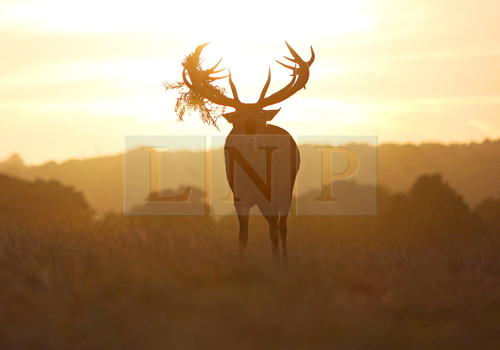 © Licenced to London News Pictures. 28/09/2016. London. UK.  <br /> Deer are pictured during the rutting season in Richmond Park in London, September 28th 2016.<br /> Photo Credit: Susannah Ireland