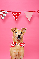 Brown smooth haired terrier mix wearing red and white polka dot tie smiling, eyes looking camera left. Photographed at Photoville Photo Booth September 20, 2015