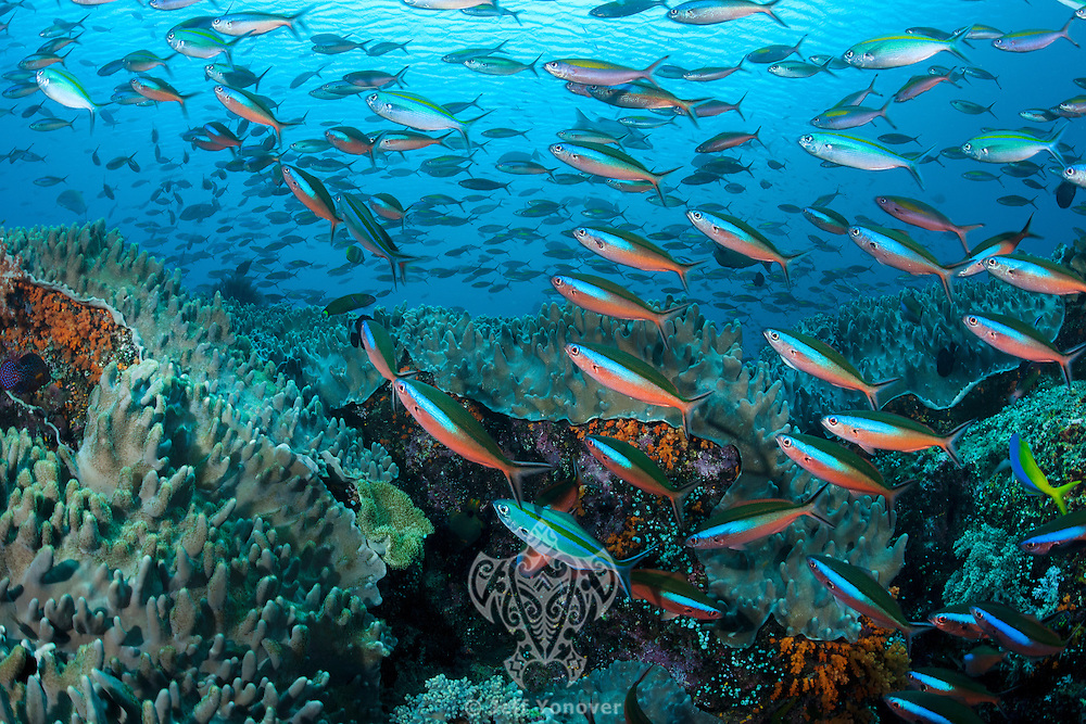Schooling Fusiliers on a shallow reef<br /> <br /> Shot in Indonesia