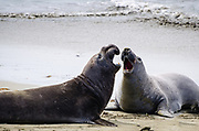 Two elephant seals engaged in playful jousting behavior at the Piedras Blancas rookery on the California coast.