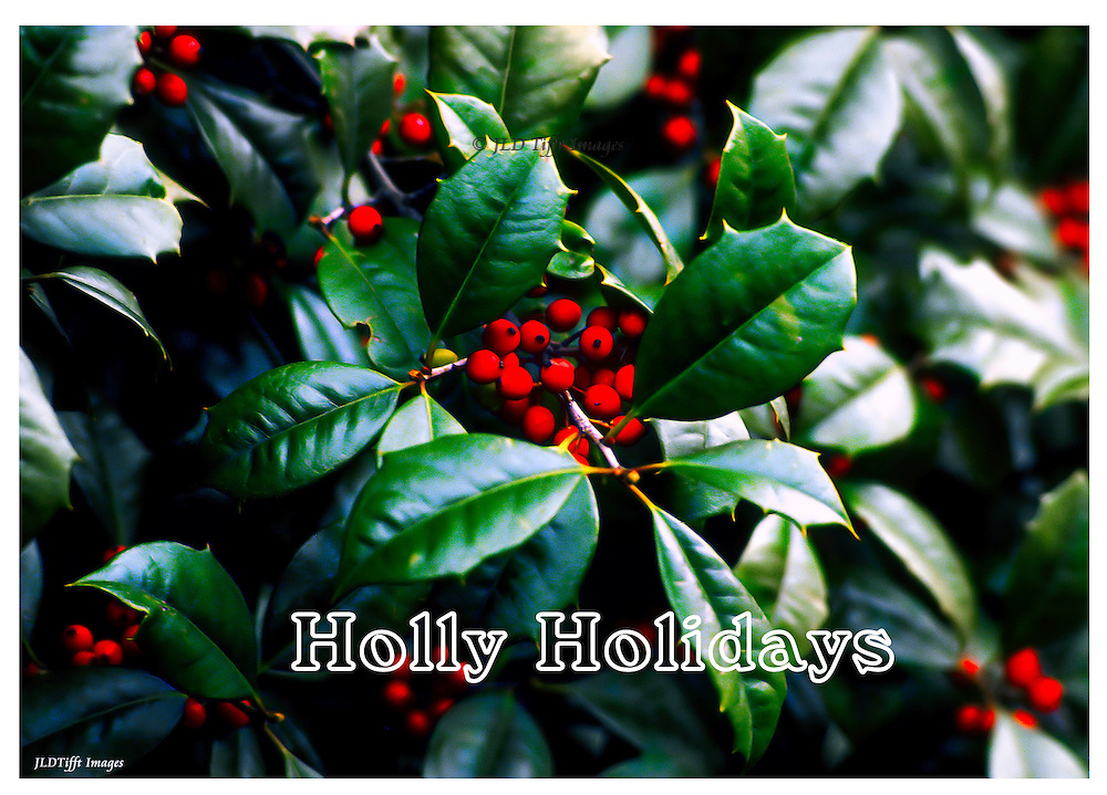 Close up of a branch on a holly tree.  The cluster of holly leaves features a centered bunch of red holly berries.  The text is superimposed below in white.
