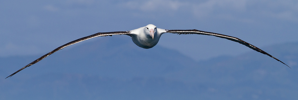 Northern Royal Albatross, New Zealand