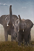 Elephants raising trunks to sniff for danger, Serengeti National Park, Tanzania.