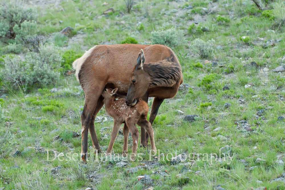 Elk Calf and Cow<br /> Yellowstone National Park,<br /> Wyoming