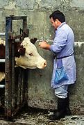 Irish vetranarian giving shots to a farmers cattle, County Clare, Ireland