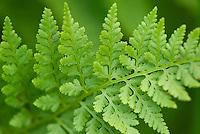 Athyrium americanum (Butters) Maxon, alpine ladyfern North Cascades Washington USA