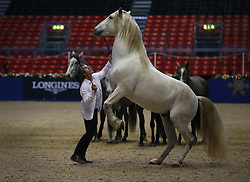 © Licensed to London News Pictures. 15/12/2015. London, UK.  French horse-whisperer Jean-Francois Pignon works with his horses ahead of The London International Horse show at Olympia. Photo credit: Peter Macdiarmid/LNP