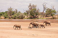 A herd of elephants crosses a dry river bed of the Ewaso Nyiro in Samburu National Reserve, Kenya.