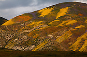 Patches of wildflowers cover the Carrizo Plain National Monument