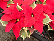 """Poinsettia 'Tapestry Red'. The Poinsettia (Euphorbia pulcherrima) is indigenous to Mexico and Central America. This flowering plant is named after Joel Roberts Poinsett, the first United States Minister to Mexico, who introduced the plant into the US in 1828. The Aztecs used the plant to produce red dye and as an antipyretic medication. Today it is known in Mexico and Guatemala as """"Noche Buena"""", meaning Christmas Eve. In Spain its is known as """"Flor de Pascua"""", meaning Easter Flower. In both Chile and Peru, the plant became known as """"Crown of the Andes""""."""