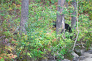 A Black Bear eating some plants and berries in Grand Teton National Park