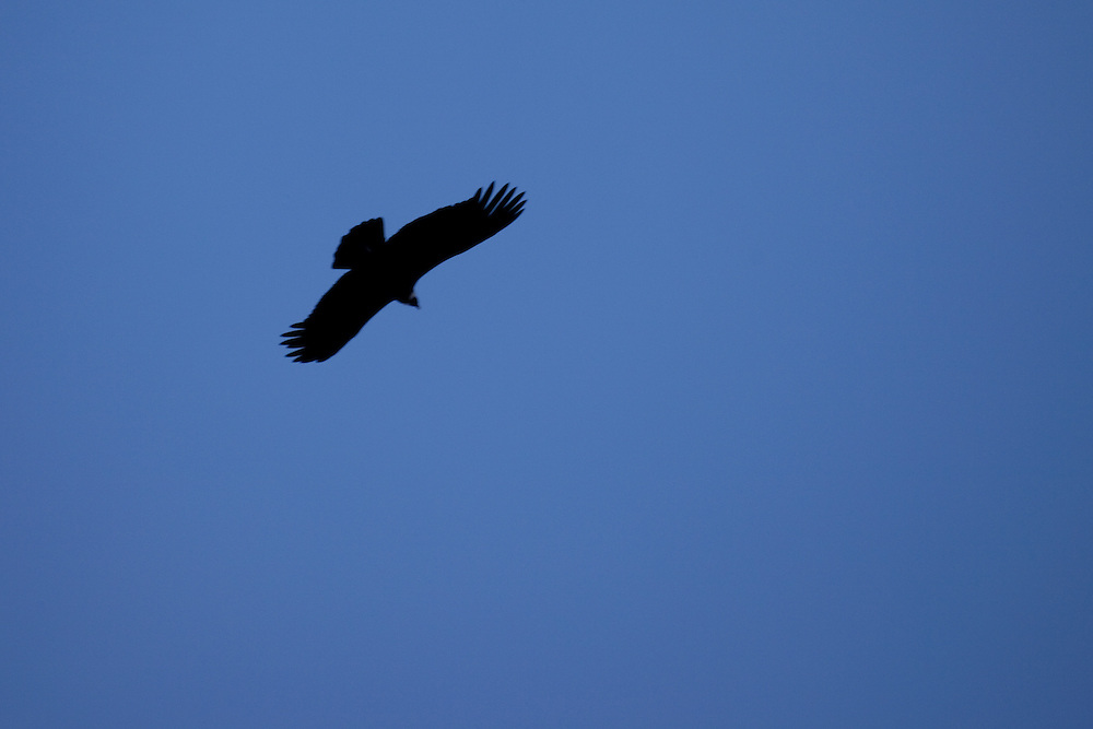 Condor in flight above the Southern Andes, Patagonia, Argentina, South America