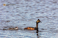 Eared grebe with baby in Medicine Lake National Wildlife Refuge, Montana, USA