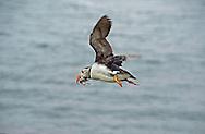 Puffin in flight carrying sandeels