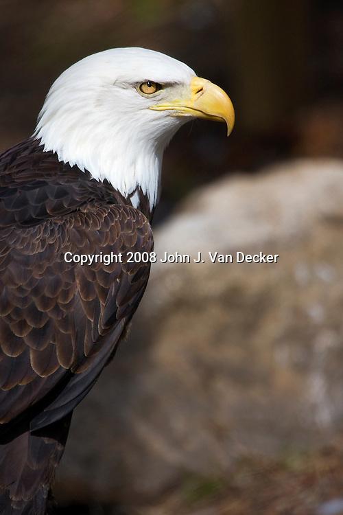 Bald Eagle, Haliaeetus leucocephalus. Turtleback Zoo, West Orange, NJ