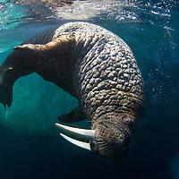 Canada, Nunavut Territory, Underwater view of Walrus (Odobenus rosmarus) swimming beneath sea ice in Frozen Strait on Hudson Bay