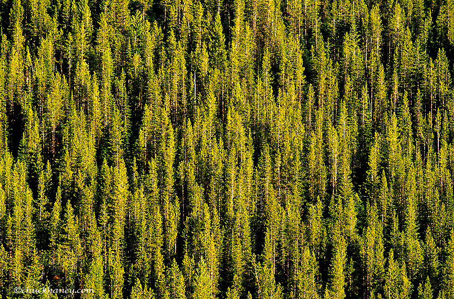 Mixed forest of pine and tamarack trees in the Flathead National Forest of Montana