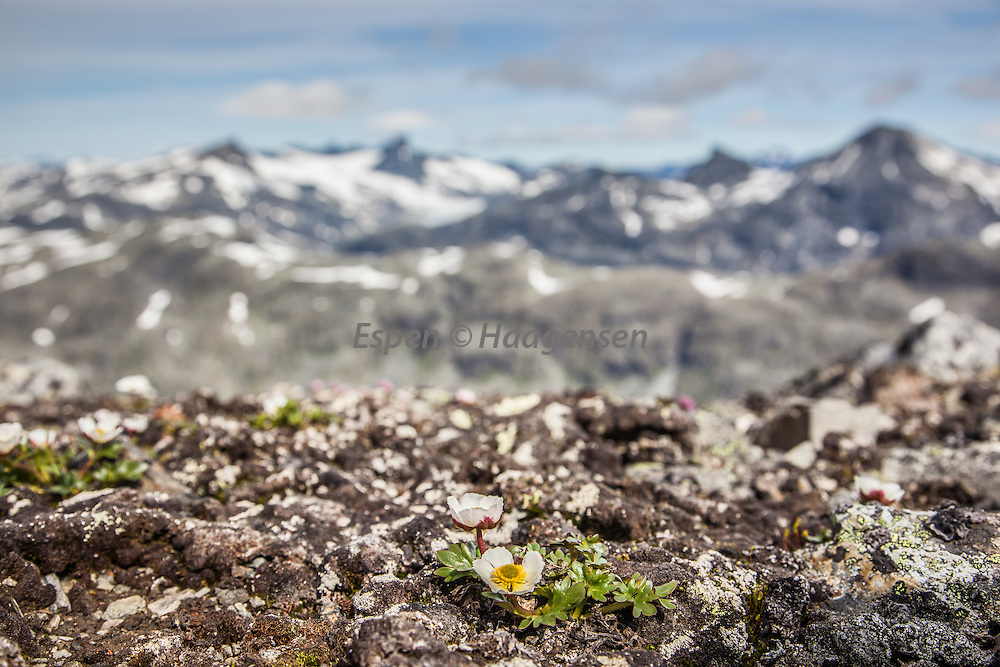 Mountain flower Mogop