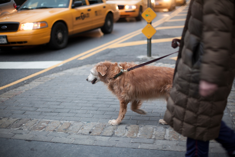 A lady walks her dog in the streets of Manhattan. New York.