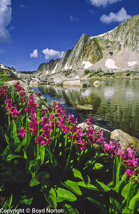 Alpine lake, Snowy Range, Wyoming. Wildflower: Parry primrose
