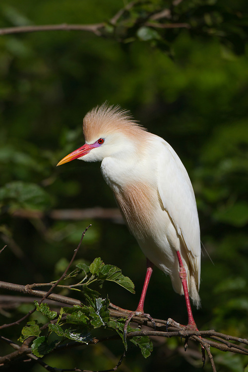 Stock photo of cattle egret captured in Florida.  Cattle egrets live in agricultural fields, especially those with livestock.  They also inhabit wetlands and lakeshores.