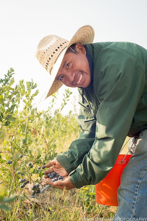 Eugenio Ramirez, one of the worker members, picks blueberries at Our Table Coopertive in Sherwood, Oregon.
