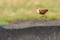 An African Jacana searches for exo-parasites on the exposed back of a hippo, Chobe River, Kasane, Botswana.