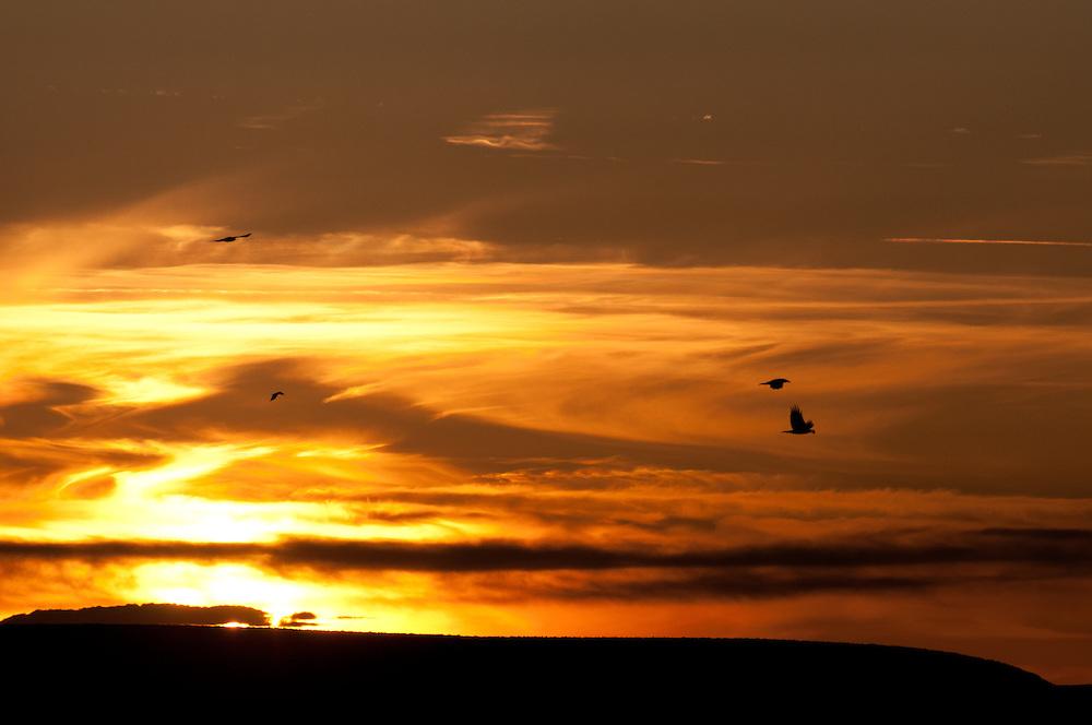 Common Ravens (Corvus corax) flying at sunset in Malheur National Wildlife Refuge, Harney County, Oregon.