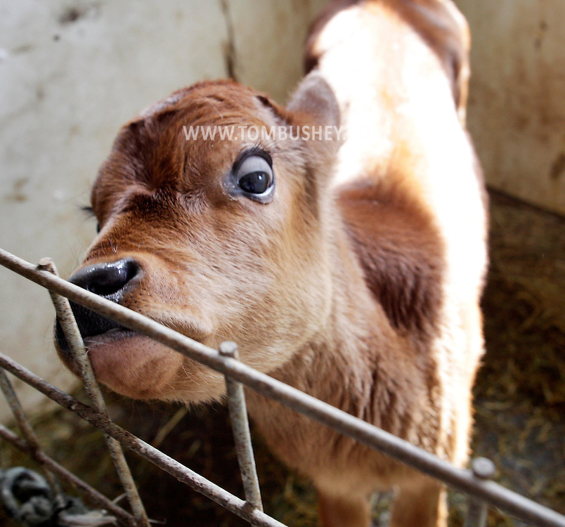 A newborn calf looks out of its pen at Bob Franklin's Pelleh Farm in Swan Lake on Friday, March 18, 2011.