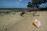 Queen Conch (Strombus gigas) shell<br /> Conchs harvested for their meat<br /> Lighthouse Reef Atoll<br /> Belize<br /> Central America