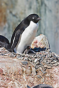 Adelie Penguin.Pygoscelis adeliae.on nest with small chicks.Peterman Island, Antarctica.25 December 2003