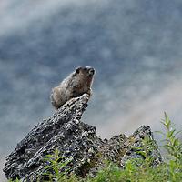 Hoary marmot. Clithroe Basin. Jasper National Park, Alberta, Canada.