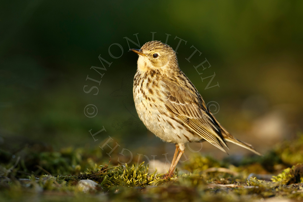 Meadow Pipit (Anthus pratensis) adult, standing on mossy ground, South Norfolk, UK. May.