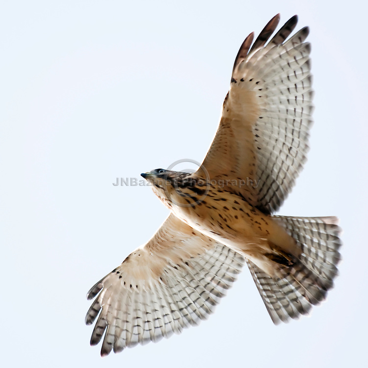 Northern Harrier (hawk) flies in circular patterns (Quebec, Canada)