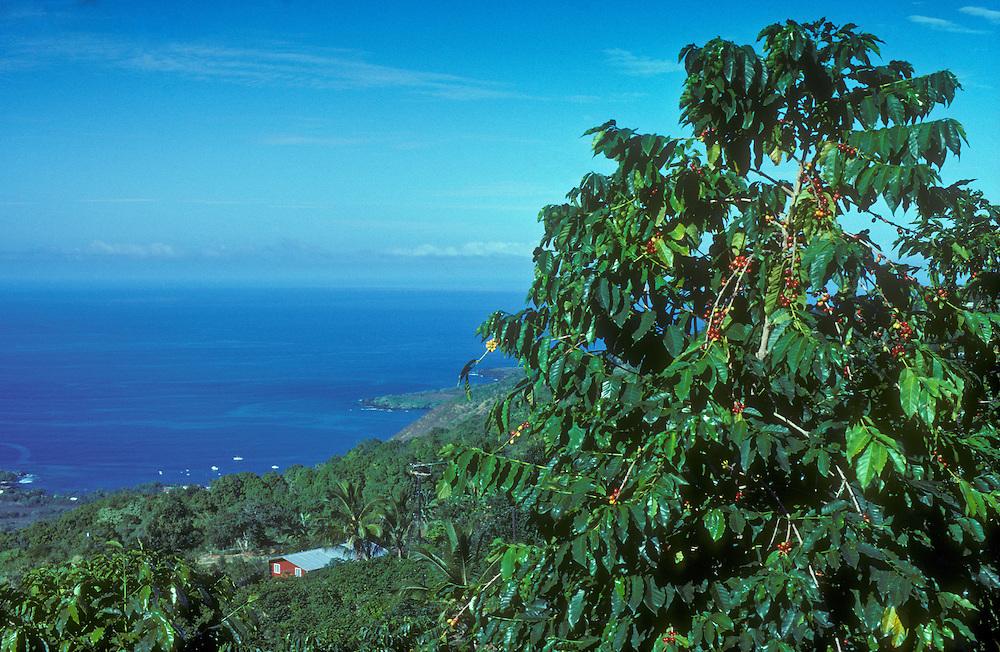 "Kona coffee plantation and tree with ripe ""cherry"" overlooking Kealakekua Bay; South Kona, Island of Hawaii."