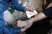 Nederland, Nijmegen, 27-3-2003Huisarts verzorgt open wond aan been van oudere patient, veroorzaakt door kastdeur.Basiszorg, eerstelijnszorg, hulpverlening, ongeluk in huisFoto: Flip Franssen