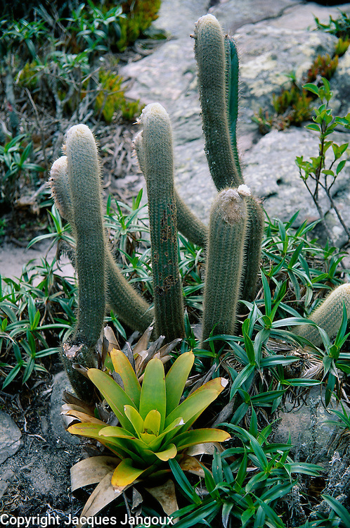 Cactus and bromeliad growing among rocks, Morro do Pai Inacio, chapada Diamantine, Brazilian Highlands, Bahia State, Brazil