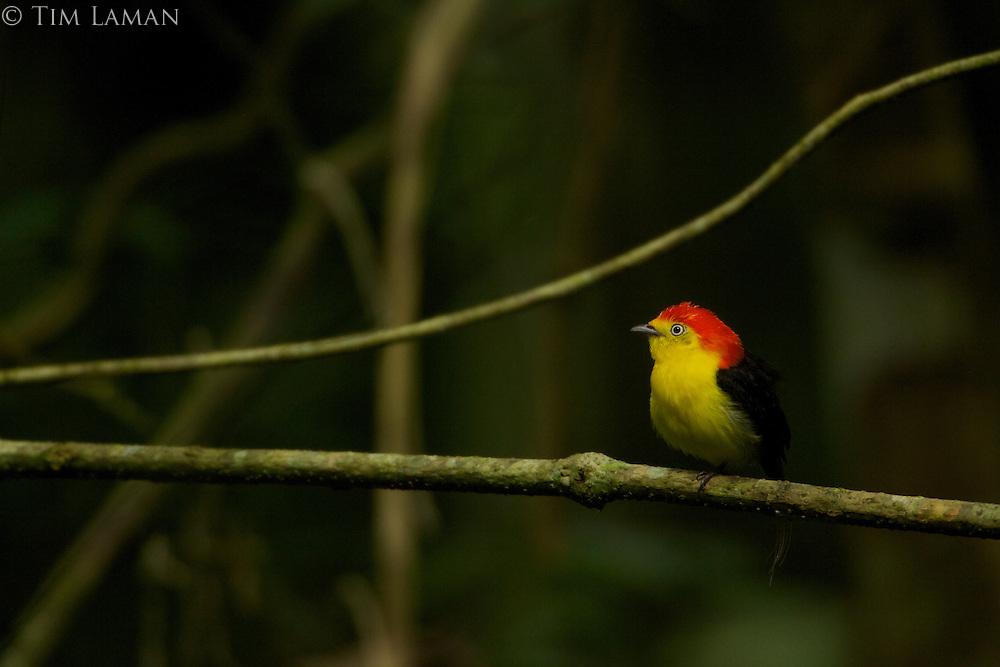Wire-tailed Manakin (Pipra filicauda)<br />Male at a calling perch<br /><br />Tiputini Biodiversity Station, Amazon Rain Forest, Napo Province, Ecuador