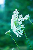 Queen Anne's Lace (Daucus carota) Smith River, Oregon.