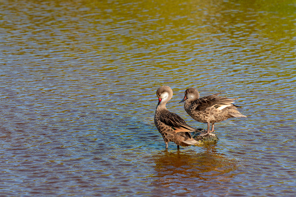 White-cheeked pintail ducks in a salt water lagoon on Isabela Island, Galapagos Islands, Ecuador.