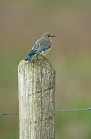 Female Mountain Bluebird (Sialia currucoides), perched on a fence post near Spruce Meadows, Calgary Alberta, Canada   Photo: Peter Llewellyn