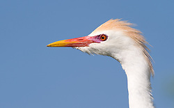 A cattle egret (Bubulcus ibis) looks out on the Gatorland alligator breeding marsh and bird sanctuary near Orlando, Florida. A buff coloration appears on the crown, back, and chest, with the bill and legs turning a vivid red during mating season.
