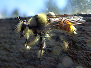 mystery bumblebee identicalfy Insects, bugs, and arachnids among other invertebrates in southern BC and Vancouver Island in the Pacific North-West.